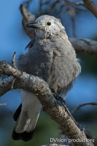 Juvenile C;lark's Nutcracker, Indian Peaks CO.