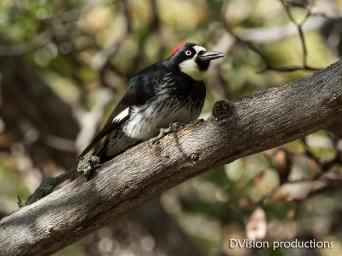 Acorn Woodpecker, Dragoon Mountains AZ.