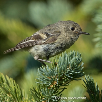 Ruby-crowned Kinglet, Indian Peaks CO.