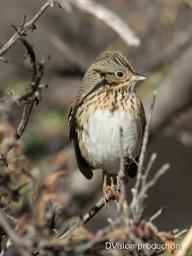 Lincoln's Sparrow, Arizona.