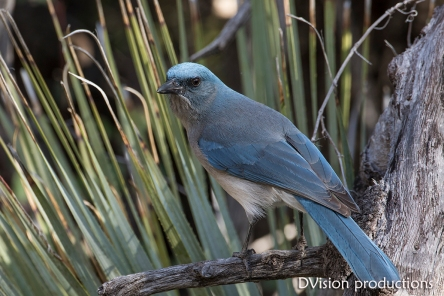 Mexican Jay, Dragoon Mountains AZ.