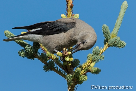Clark's Nutcracker, Indian Peaks CO.