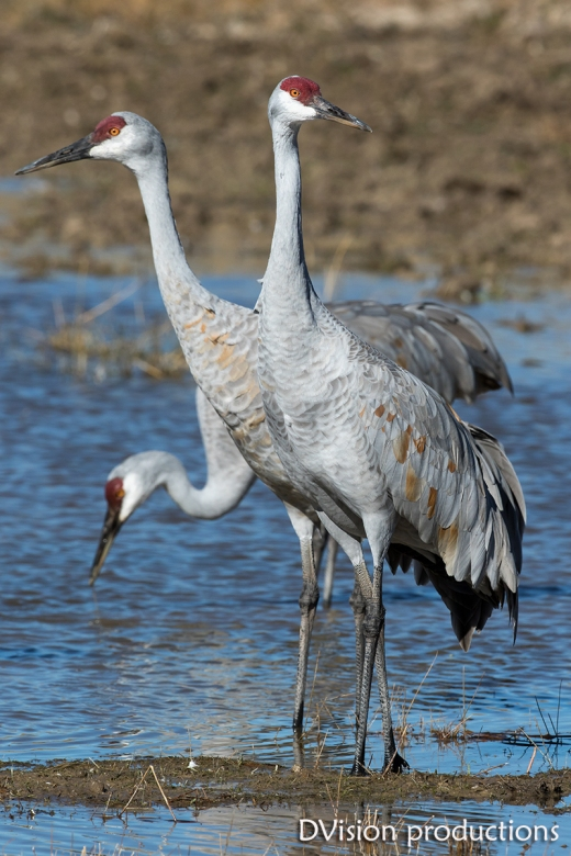 Sand Hill Cranes, 3 heads are better than one.