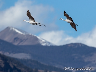 Sand Hill Cranes flying in the San Luis Valley, CO.