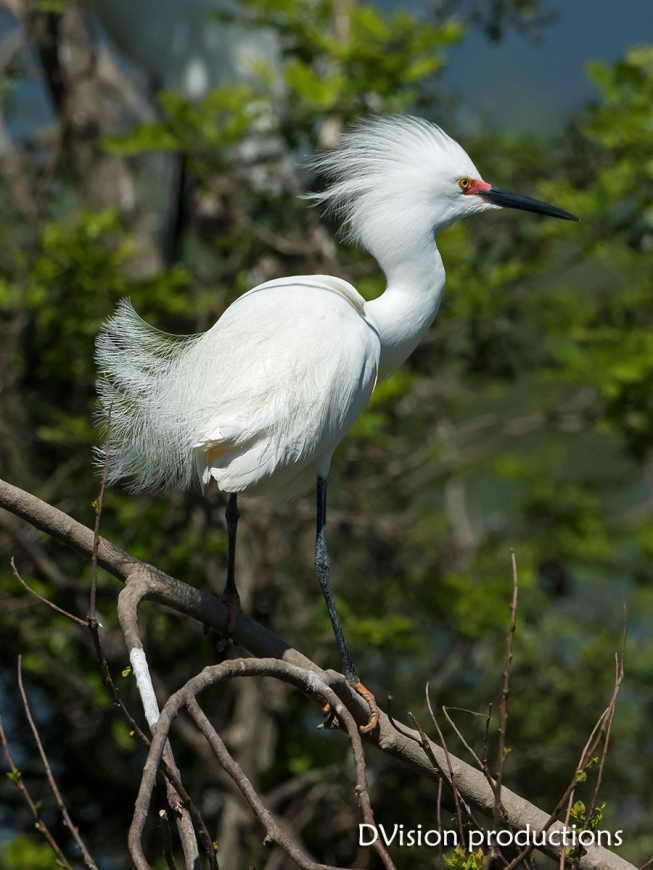 Snowy Egret displaying plumage, Texas.