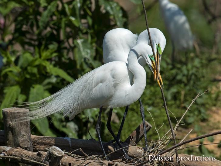 Great Egrets building a nest, Texas.