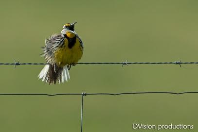 Eastern Meadowlark singing on a fence line, Texas.