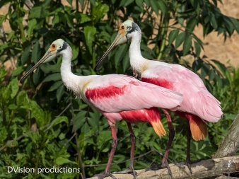 Pair of Roseate Spoonbills, Texas.