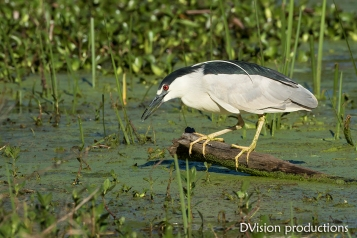 Black-crowned Night Heron hunting, Texas.