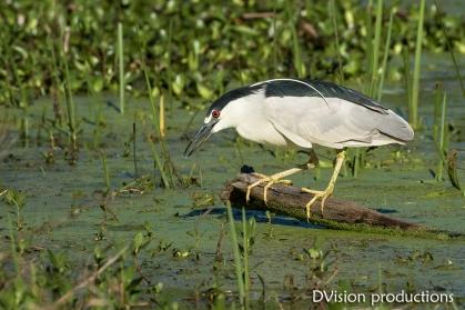Black-crowned Night Heron hunting, Texas.