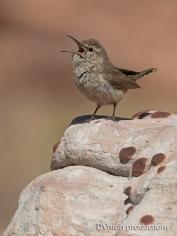 Rock Wren singing, Nevada.
