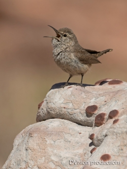Rock Wren singing, Nevada.