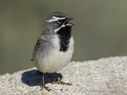 Black-throated Sparrow, Joshua Tree NP.
