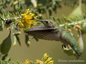 Hummingbird with flowers and bugs, CA.
