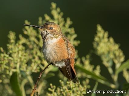 Allen's Hummingbird taking a nap, CA.