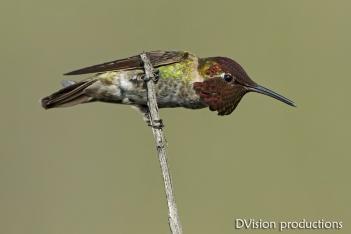 Anna's Hummingbird male defending its territory, CA.