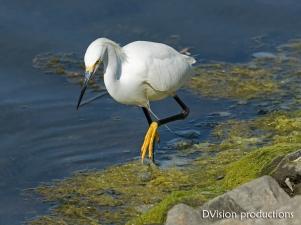 Snowy Egret, CA.