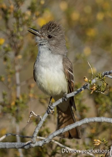 Ash-throated Flycatcher, Joshua Tree NP.