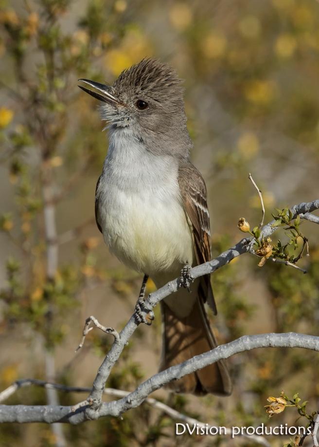 Ash-throated Flycatcher, Joshua Tree NP.