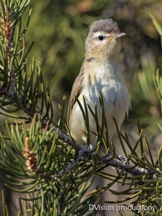 Warbling Vireo stretching its neck, Joshua Tree NP.