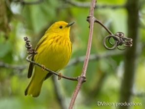 Yellow Warbler, Boulder CO.