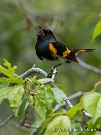 American Redstart male singing for a mate, Boulder CO.