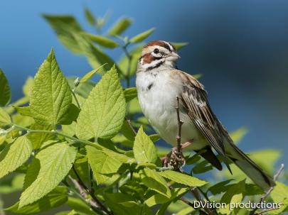 Lark Sparrow, Boulder CO.