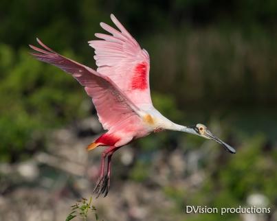 Roseate Spoonbill in flight, Texas.