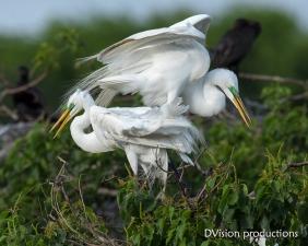 Great Egrets choosing a nesting site, Texas.