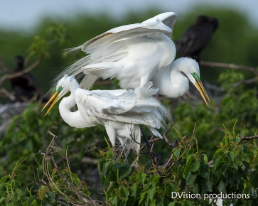 Great Egrets choosing a nesting site, Texas.