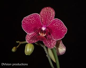 Orchid in bloom, Boulder CO.