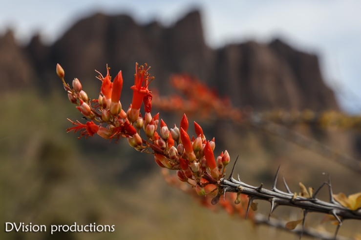 Ocatillo bloom, Superstition Mountains AZ.