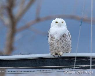 Snowy Owl, Boulder CO. A rare winter treat!