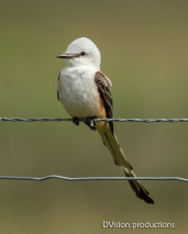 Scissor-tailed Flycatcher, Texas.