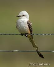 Scissor-tailed Flycatcher, Texas.