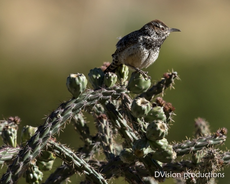 Cactus Wren on a Cholla, Arizona.