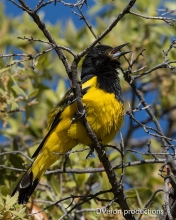 Scott's Oriole singing, Mt. Lemmon AZ.