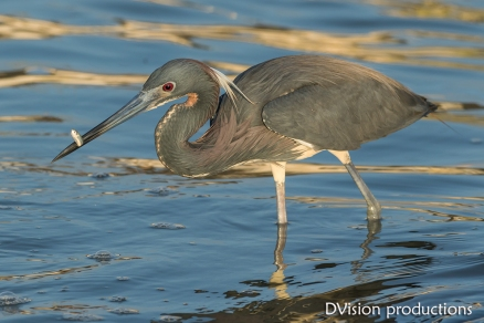Tri-colored Heron snags a small fish, Texas.