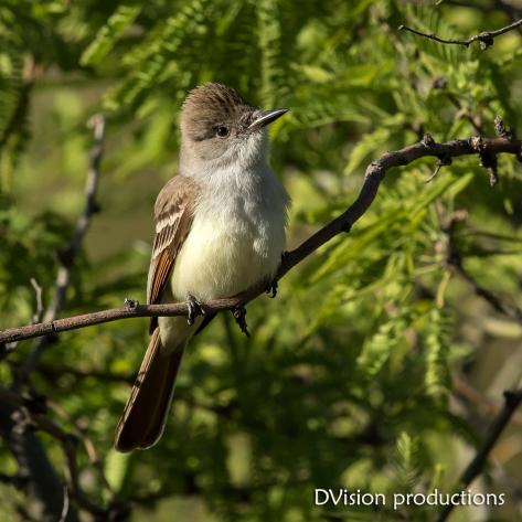 Ash-throated Flycatcher, Mt. Lemmon AZ.
