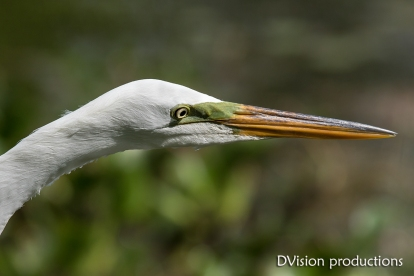 Great Egret close up, Texas.