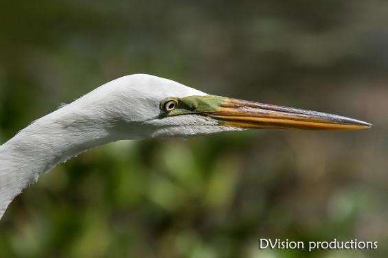 Great Egret close up, Texas.