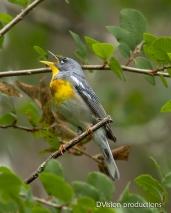 Northern Parula singing, Texas.