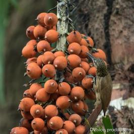 Cocoa Woodcreeper, Panama.