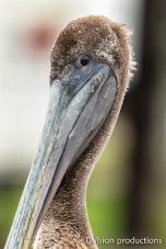 Brown Pelican portrait, Texas.