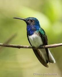 White-necked Jacobin, Panama.