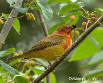 Summer Tanager juvenile with a mulberry.