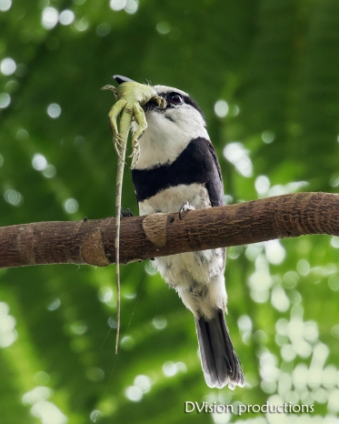 White-breasted Puffbird with lizard breakfast, Panama.