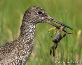 A Willet snags a crab for lunch.