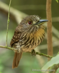 White-whiskered Puffbird, Panama.