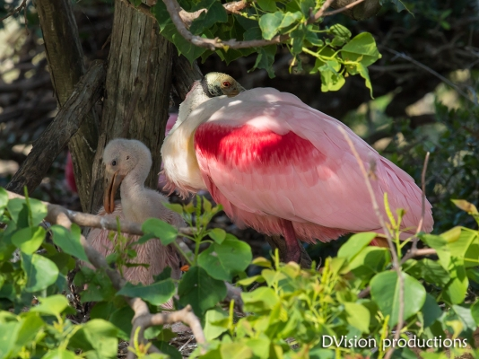 Roseate Spoonbill and chick, Texas.